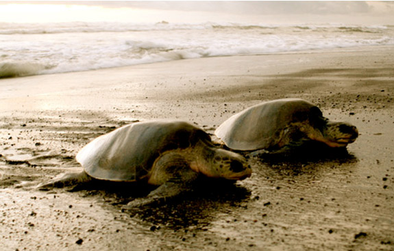 costa-rica-sea_turtles