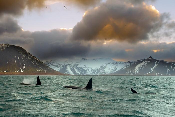 orcas-2