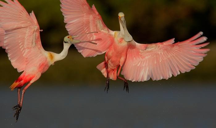 Roseate-Spoonbills-squabbling-_E0W9806--Alafaya-Banks,-Tampa-Bay,-FLC