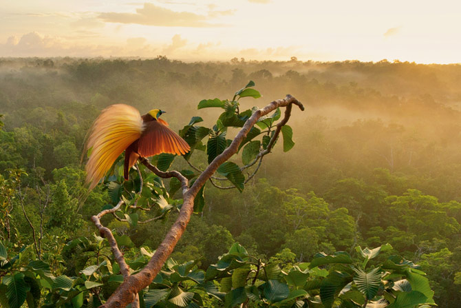 07-greater-bird-of-paradise-courtship-display-670