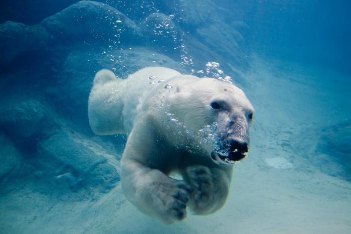 polar-bear4