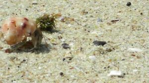 stock-footage-hermit-crab-on-a-beach-in-sri-lanka