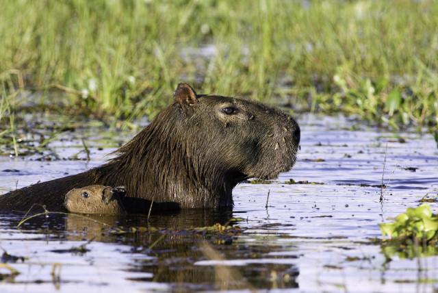 capybara-brazil