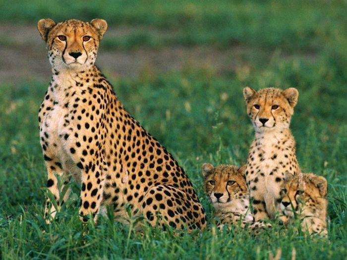 cheetahs_234_990x742