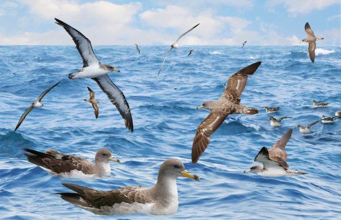 Cory's_Shearwater_from_the_Crossley_ID_Guide_Britain_and_Ireland