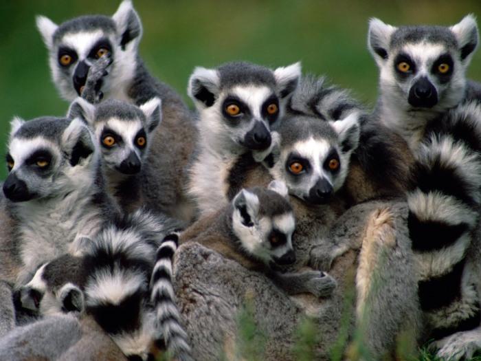 Madagascar-Lemurs-lemurs-24113851-1600-1200